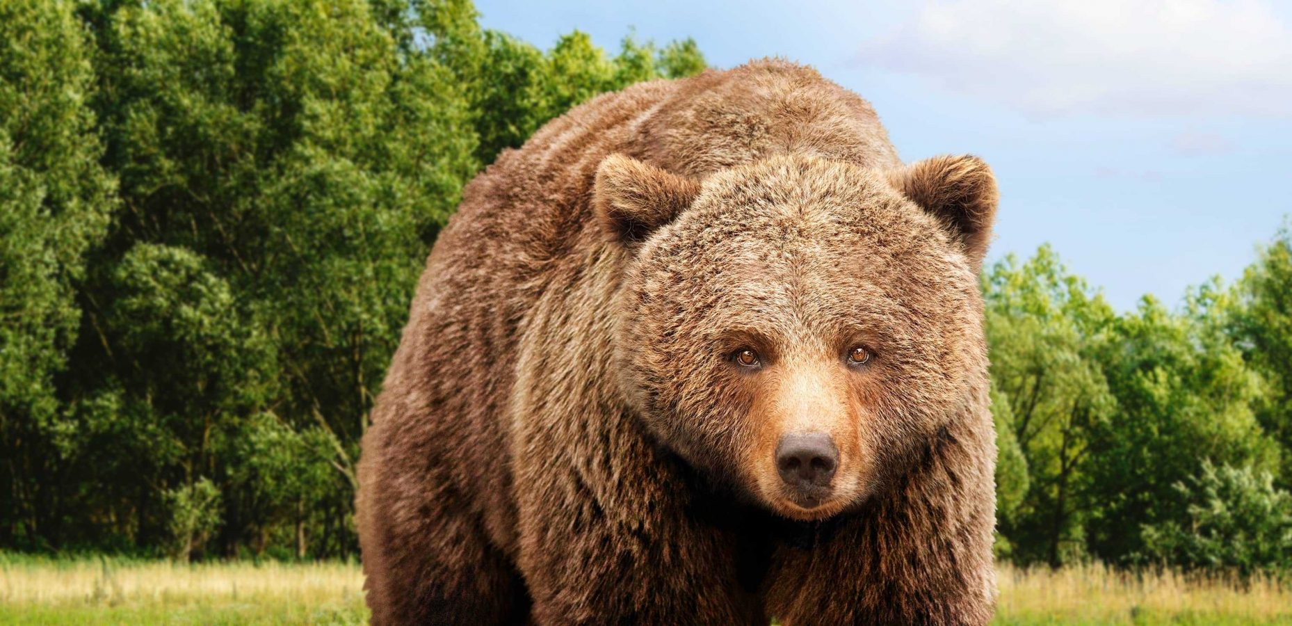 Ein Braunbär der für die Kampagne der Vier Pfoten zu Rettung von Bären steht
