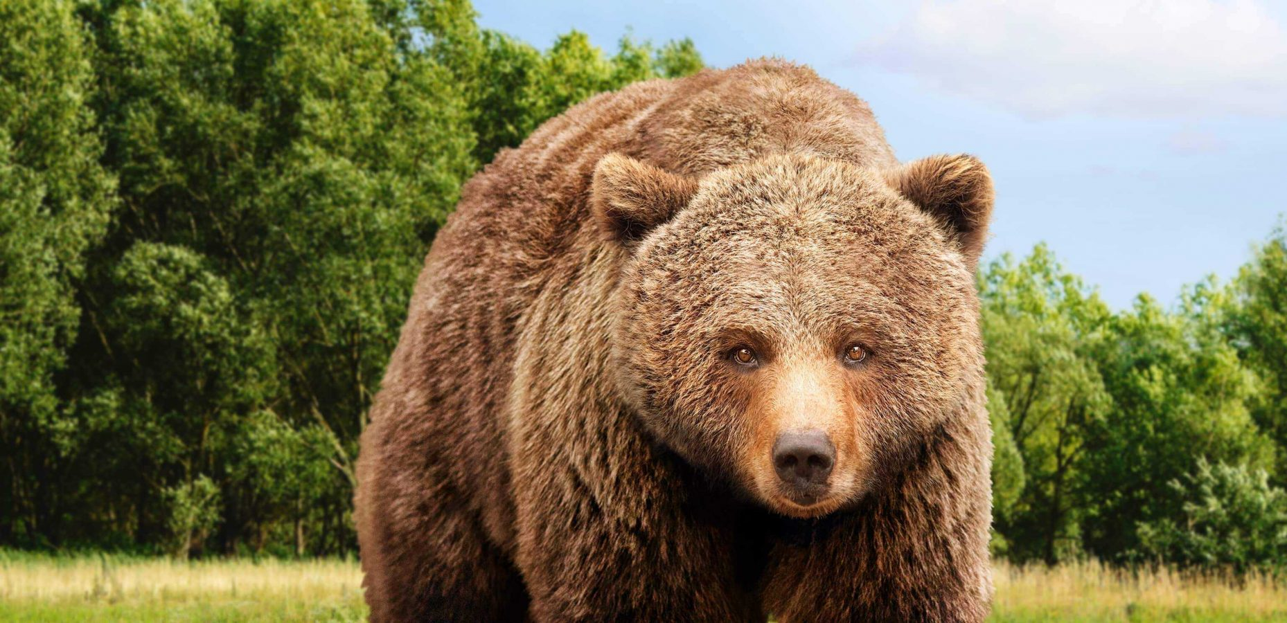 A brown bear that stands for the campaign of the Four Paws for the rescue of bears